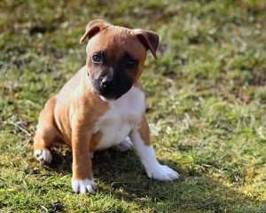 teaching your puppy to stay