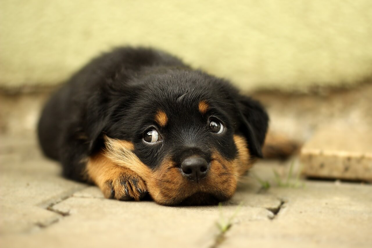 Submissive Urination And What To Do When Your Puppy Pees When Excited