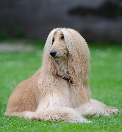 Hypoallergenic Dogs Afghan Hound