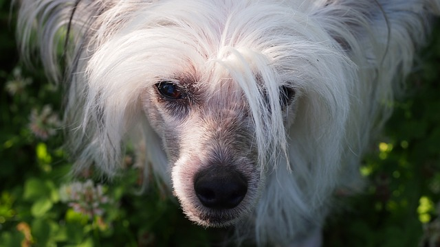 Hypoallergenic Dogs Chinese Crested