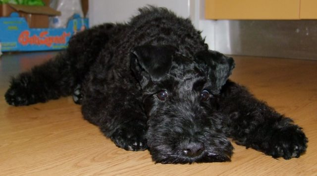 Hypoallergenic Dogs Kerry Blue Terrier