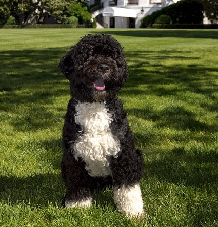 Hypoallergenic Dogs Portuguese Water Dog