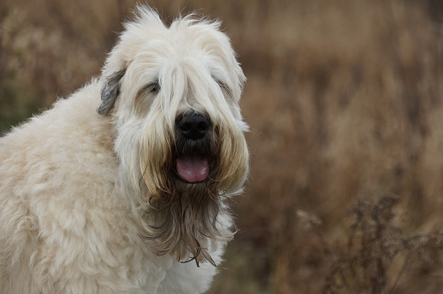 Hypoallergenic Dogs Soft Coated Wheaten Terrier