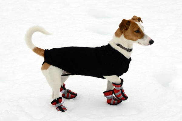 Jack Russell Wearing Dog Snow Boots